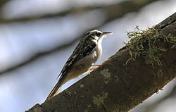 Brown Creeper.jpg
