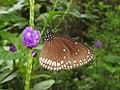 Brown King Crow Euploea klugii by Dr. Raju Kasambe DSCN4771 (13).jpg