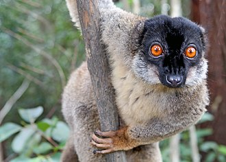 Primate - Common brown lemur, a Strepsirrhine primate