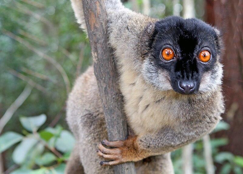 Ficheiro:Brown Lemur in Andasibe.jpg