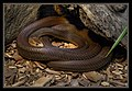 Brown Snake at Australia Zoo-1 (9094899977).jpg