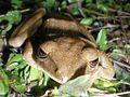 Brown Tree Frog (Polypedates megacephalus) 斑腿泛樹蛙5.jpg