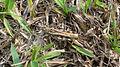 Brown grasshopper (16008950152).jpg