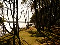 Brownsea Island, clifftop trees - geograph.org.uk - 1446266.jpg
