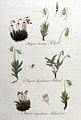 Bryum cuspidatum — Flora Batava — Volume v9.jpg