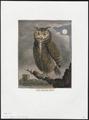 Bubo maximus - 1700-1880 - Print - Iconographia Zoologica - Special Collections University of Amsterdam - UBA01 IZ18400077.tif