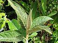 Buddleja megacephala foliage.jpg