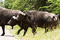 Buffalo (2355694768).jpg