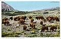 Buffalo Herd Near Fort Yellowstone (NBY 432436).jpg