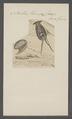 Bullaea hirundina - - Print - Iconographia Zoologica - Special Collections University of Amsterdam - UBAINV0274 081 05 0006.tif