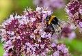 Bumblebees of Arkhangelsk and Novgorod Regions 06.jpg
