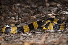 Bungarus fasciatus, Banded krait - Prachantakham District (23937391991).jpg