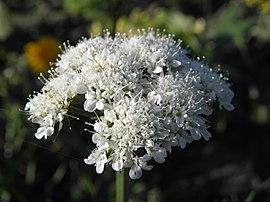 تالغودة Bunium mauritanicum 270px-Bunium_bulbocatstanum_RH.