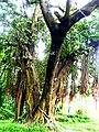 Bunyan tree,national botanical garden Bangladesh.jpg