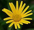 Buphthalmum salicifolium ENBLA03.jpg