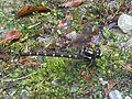 Bush Giant Dragonfly - Flickr - GregTheBusker.jpg