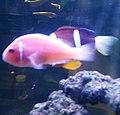 Cá hề hồng Nha Trang.jpg