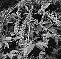 COLLECTIE TROPENMUSEUM Close-up van een koffiestruik vol bessen TMnr 20014489.jpg