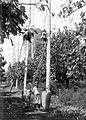 COLLECTIE TROPENMUSEUM Een plukker klimt in een kapokboom om te oogsten op onderneming Siloewok Sawangan te Pekalongan Midden-Java TMnr 10011515.jpg