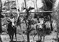 COLLECTIE TROPENMUSEUM Een span stieren voor wedrennen in het dorp Rapa Daya TMnr 20000193.jpg