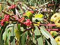CSIRO ScienceImage 11666 Flowering gum Margaret River Western Australia.jpg