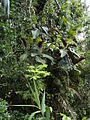 CSIRO ScienceImage 2342 Miconia calvescens tree.jpg