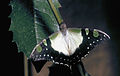 CSIRO ScienceImage 2485 Macleays Swallowtail Butterfly.jpg