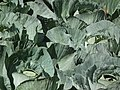 Cabbage from lalbagh 2299.JPG