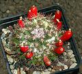 Cactaceae - Mammillaria mammillaris.JPG