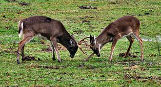 Rut (mammalian reproduction) - White-tailed bucks in late rut in the Great Smoky Mountains