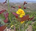 Caesalpinia angulata (8420797577).jpg
