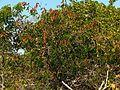 Caesalpinia in Celestún Estuary - Flickr - treegrow (3).jpg