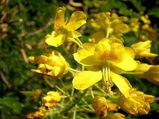<i>Erythrostemon mexicanus</i> Species of legume