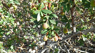 Berberis microphylla - Fruits in spring