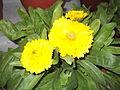 Calendula officinalis-Anna park-yercaud-salem-India.JPG
