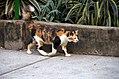 Calico cat (23454134083).jpg
