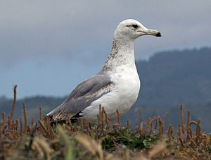 California gull - In California