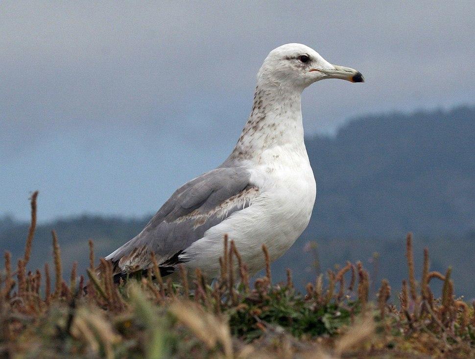 California Gull (Larus californicus) RWD2