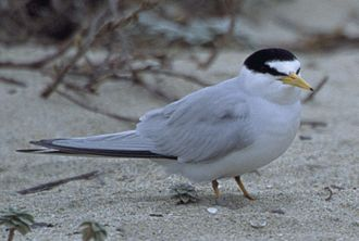 California least tern - Image: California Least Tern