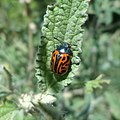 Calligrapha mexicana (Chrysomelidae) - Imago.jpg