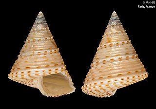 <i>Calliostoma poppei</i> species of mollusc