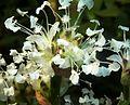 Callisia fragrans, bloeiwyse, Manie van der Schijff BT, b.jpg