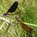 Calopteryx haemorrhoidalis. Copper Demoiselle. - Flickr - gailhampshire (3).jpg