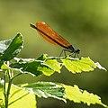 Calopteryx virgo 20190504a.jpg