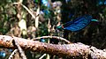 Calopteryx virgo mit Beute.jpg
