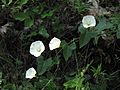 Calystegia purpurata ssp. purpurata.jpg