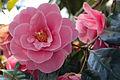 Camellia - National Rhododendron Gardens, Olinda, Victoria Australia (6225477085).jpg
