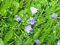 Campanula rotundifolia-Salzburg, Flachgau, Eugendorf-bE-HdN-1165a.jpg