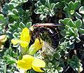 Campsomeriella thoracica 9.jpg