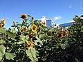 Campus Sunflowers (16365011408).jpg